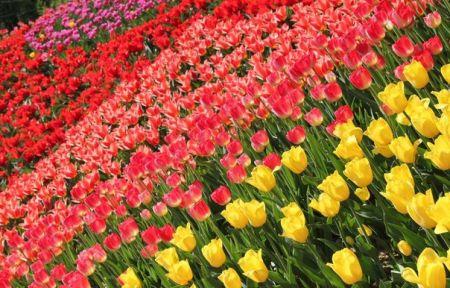 Городская Выставка - фестиваль тюльпанов Вокруг света 2019 (20 апреля - 27 мая)